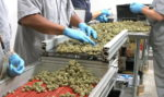 Two New Conditions Eligible For Medical Marijuana
